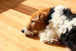 dog sleeping on a disinfectant floor with no harmful residue